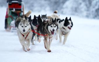 Szklarska Poręba atrakcje: psi zaprzęg