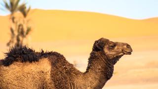 Oaza, wydmy, wielbłąd